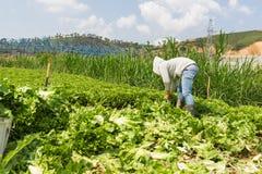 Dalat, Вьетнам 19-ое апреля 2016: фермер жать салат руками Стоковые Фотографии RF