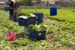 Dalat, Вьетнам, 19-ое апреля 2016: фермер жать хранят салат на, который Стоковое Изображение
