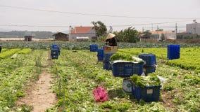 Dalat, Вьетнам, 19-ое апреля 2016: фермер жать хранят салат на, который Стоковое Фото