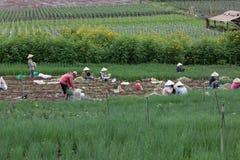 Dalat farmers harvested onions Stock Photo
