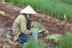 Dalat farmers harvested onions Royalty Free Stock Images