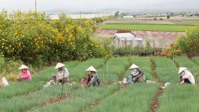 Dalat farmers harvested onions Royalty Free Stock Photos
