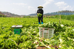 Dalat lamdong, Vietnam, April 19, 2016: bonden använde korgen för att skörda grönsallaten Royaltyfri Bild