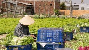 Dalat lamdong, Vietnam, April 19, 2016: bonden använde lådaask- och nylonkorgen för att skörda grönsallaten Arkivfoto