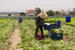 Dalat lamdong, Vietnam, April 19, 2016: bonden använde lådaask- och nylonkorgen för att skörda grönsallaten Royaltyfri Fotografi