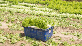 Dalat, lamdong, Vietnam, April 19, 2016 : the farmer used the carton box and nylon basket for harvesting the lettuce Royalty Free Stock Photos