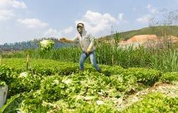 Dalat, lamdong, Vietnam, el 19 de abril de 2016: el granjero que cosecha la lechuga Foto de archivo libre de regalías