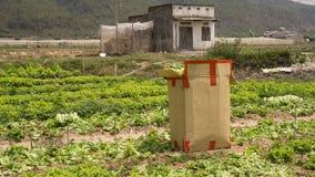 Dalat, lamdong, Vietnam, el 19 de abril de 2016: el granjero utilizó la caja del cartón para cosechar la lechuga Foto de archivo libre de regalías