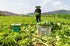 Dalat, lamdong, Vietnam, el 19 de abril de 2016: el granjero utilizó la cesta para cosechar la lechuga Imagen de archivo libre de regalías