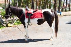 Dalat preto e branco Vietnam do cavalo de sela Fotografia de Stock Royalty Free