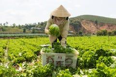 Dalat, Vietnam abril, 19, 2016: el granjero que cosecha lechuga por las manos Imágenes de archivo libres de regalías