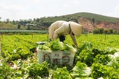 Dalat, Vietnam abril, 19, 2016: el granjero que cosecha lechuga por las manos Foto de archivo libre de regalías