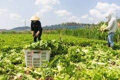 Dalat, Vietnam abril, 19, 2016: el granjero que cosecha lechuga por las manos Foto de archivo
