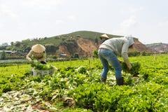 Dalat, Vietnam abril, 19, 2016: el granjero que cosecha lechuga por las manos Fotografía de archivo libre de regalías
