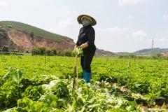 Dalat, Vietnam abril, 19, 2016: el granjero que cosecha lechuga por las manos Fotografía de archivo