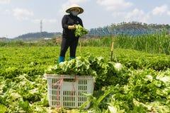 Dalat, Vietnam abril, 19, 2016: el granjero que cosecha lechuga por las manos Fotos de archivo libres de regalías