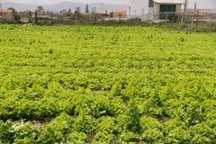 Dalat Vietnam, April 19, 2016: grönsallatfältet Royaltyfria Foton