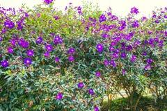 DALAT, VIETNAM - 17 de febrero de 2017: Buganvilla floreciente en un bosque Fotografía de archivo libre de regalías