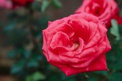 DALAT, VIETNAM - 17 de febrero de 2017: Coloree las rosas en ciudad del lat de DA de la flor en Vietnam Imagen de archivo