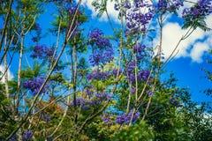 DALAT, VIETNAM - 17 de febrero de 2017: El Jacaranda florece la floración en el patio de una casa hermosa de la primavera en Dala Fotografía de archivo libre de regalías