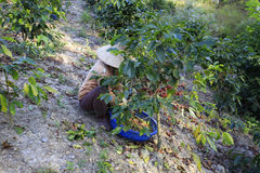 Dalat, Vietnam - December 20, 2015 - Farmer with a basket harvesting red coffee been Royalty Free Stock Image