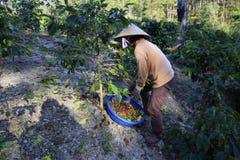 Dalat, Vietnam - December 20, 2015 - Landbouwer met een mand die rode koffie oogsten  Royalty-vrije Stock Foto's