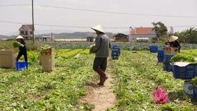 Dalat, Vietnam, el 19 de abril de 2016: Granjero que cosecha lechuga en archivado Imagen de archivo