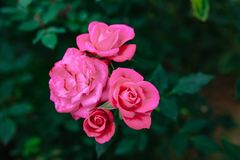 DALAT, VIETNAM - 17 février 2017 : Colorez les roses dans la ville de Lat du DA de fleur au Vietnam Photographie stock