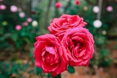 DALAT, VIETNAM - 17 février 2017 : Colorez les roses dans la ville de Lat du DA de fleur au Vietnam Image stock