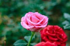 DALAT, VIETNAM - 17 février 2017 : Colorez les roses dans la ville de Lat du DA de fleur au Vietnam Image libre de droits
