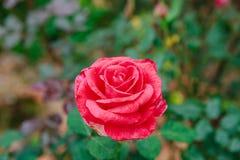 DALAT, VIETNAM - 17 febbraio 2017: Colori le rose nella città del Lat del Da del fiore nel Vietnam Immagini Stock