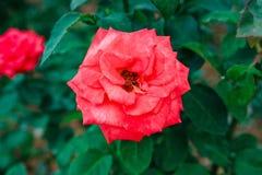 DALAT, VIETNAM - 17. Februar 2017: Färben Sie Rosen in der Blume DA-Latstadt in Vietnam Stockbild