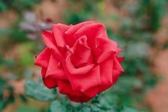 DALAT, VIETNAM - 17. Februar 2017: Färben Sie Rosen in der Blume DA-Latstadt in Vietnam Lizenzfreie Stockbilder