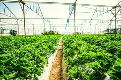 DALAT, VIETNAM - 17. Februar 2017: Landwirtschaftsbauernhof des Erdbeerfeldes Stockfoto