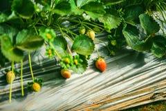 DALAT VIETNAM - Februari 17, 2017: Åkerbruk lantgård av jordgubbefältet Royaltyfria Bilder