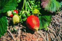 DALAT VIETNAM - Februari 17, 2017: Åkerbruk lantgård av jordgubbefältet Royaltyfri Bild