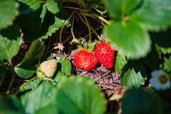 DALAT VIETNAM - Februari 17, 2017: Åkerbruk lantgård av jordgubbefältet Arkivbilder