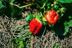 DALAT VIETNAM - Februari 17, 2017: Åkerbruk lantgård av jordgubbefältet Royaltyfri Foto