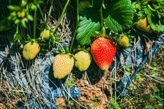DALAT VIETNAM - Februari 17, 2017: Åkerbruk lantgård av jordgubbefältet Arkivfoton
