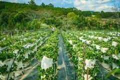 DALAT VIETNAM - Februari 17, 2017: Åkerbruk lantgård av jordgubbefältet Arkivfoto