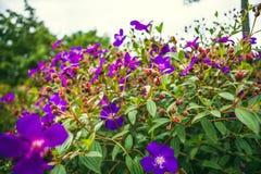 DALAT VIETNAM - Februari 17, 2017: Blommande bougainvillea i en skog Arkivfoto