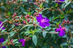 DALAT VIETNAM - Februari 17, 2017: Blommande bougainvillea i en skog Royaltyfria Bilder