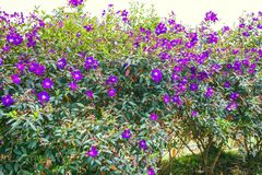 DALAT VIETNAM - Februari 17, 2017: Blommande bougainvillea i en skog Royaltyfri Fotografi