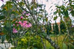 DALAT, VIETNAM - Februari 17, 2017: De de lentebloem, mooie aard met sakurabloei in trillend roze, kersenbloesem is speciaal Royalty-vrije Stock Afbeeldingen