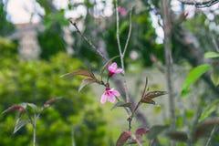 DALAT VIETNAM - Februari 17, 2017: Fjädra blomman, härlig natur med sakura blom i vibrerande rosa färger, den körsbärsröda blomni Royaltyfria Bilder
