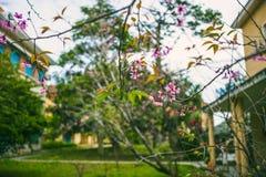 DALAT VIETNAM - Februari 17, 2017: Fjädra blomman, härlig natur med sakura blom i vibrerande rosa färger, den körsbärsröda blomni Royaltyfri Foto