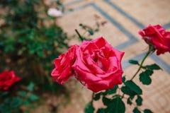 DALAT, VIETNAM - Februari 17, 2017: Kleurenrozen in de stad van bloemda Lat in Vietnam Royalty-vrije Stock Afbeelding