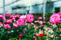 DALAT, VIETNAM - Februari 17, 2017: Kleurenrozen in de stad van bloemda Lat in Vietnam Royalty-vrije Stock Fotografie