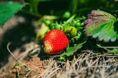DALAT, VIETNAM - February 17, 2017: Agriculture farm of strawberry field Stock Photography
