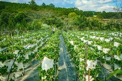 DALAT, VIETNAM - February 17, 2017: Agriculture farm of strawberry field Stock Photo
